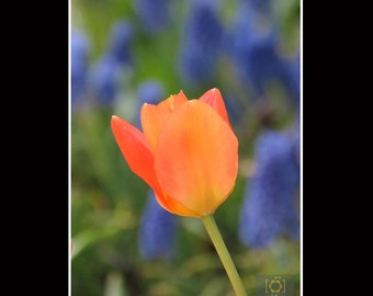 Orange Tulip Delicate Flower Photography Matted Print, Home Décor, Wall Art, Soft Blue Grape Hyacinth background
