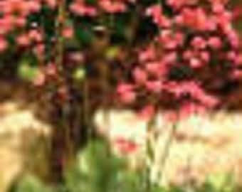 Red Coral Bells Bressingham Heuchera Perennial Starter Plant