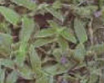 Purple Fuzzy Teddy Bear Vine Starter Plant