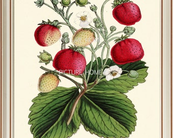 Botanical Print STRAWBERRY H42 Beautiful 8X10 Red Antique Strawberries Garden Flower Art Room Decoration Wall Art to Frame Nature