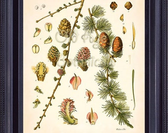Botanical Print 8x10 KOHLER Vintage Art European Larch Cones Evergreen Ornamental Coniferous Tree Antique Plate Chart Interior Design BF0710