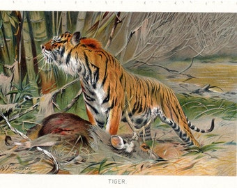 1900 Tiger Print Antique print Color Lithograph Natural History Wilhelm Kuhnert