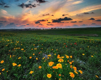 Landscape Photography, Wall Decor, Nature, Israel, Fine Art Photograph, Flowers , Spring,  Sunset, Green