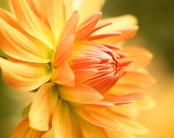 Yellow Orange Flower - Golden Dahlia - Flower Photography, Fine Art Photography