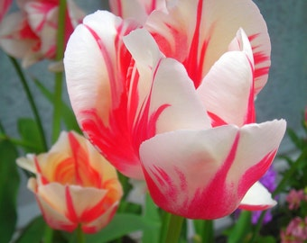 Cherry pink and white tulips
