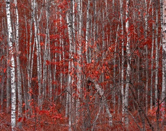 Red Birch Trees In Fall colors, Autumn photograph, Michigan photos
