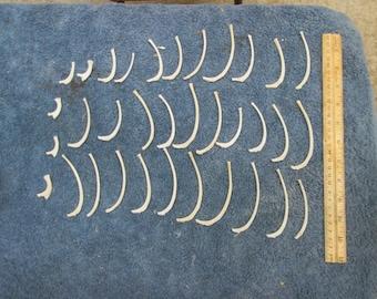 34 Raccoon Rib Bone From Montana Raccoon Great For Crafts