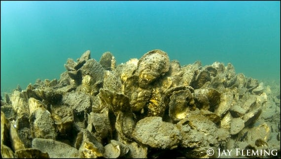 underwater oyster bed