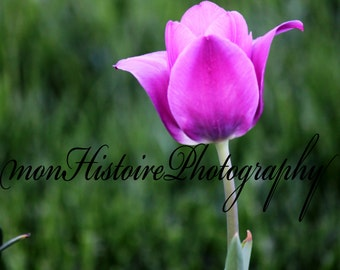 Purple Tulip, Nature Photography