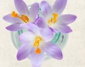 Purple Flower Photograph, Wall Art, Crocus Photo, Floral Art Print, Botanical Print, Spring Flower Still Life Photography Print, Wall Decor