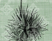 Digital Download Aloe Vera Plant Floral Botanical image, Antique Illustration  c. 1900, digi stamp, digis, digital stamp
