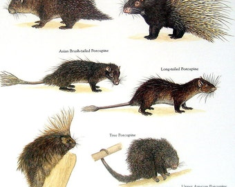 Porcupines Vintage 1984 Animals Book Plate