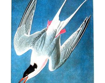 Roseate Tern 1979 Vintage Audubon Bird Print Book Plate
