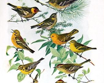 Pine Warbler, Yellow Warbler, Bay Breasted Warbler, Black Poll Warbler - Bird Print - 1936 Vintage Book Page - 8 x 11