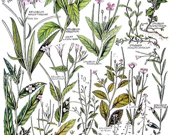 1965 Botanical Print - Rose Bay, Great Willow Herb, Evening Primrose British Flowers - Vintage Book Plate P35