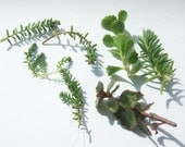 Fresh succulent cuttings, five types, vigorous hardy perennials
