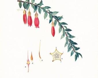 1917 Botany Print - Pentapterygium Serpens - Vintage Antique Flower Art Illustration Book Plate for Framing