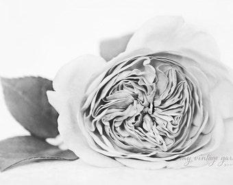 garden rose-b & w-flower photography -flower photo-cottage garden photography (5 x 7 Original fine art photography prints) FREE Shipping)