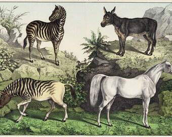 1886 Large Antique EQUINE print, white horse, ass, zebra and quagga a extinct species of zebra. Zebra print, Vintage Horse print, Large size