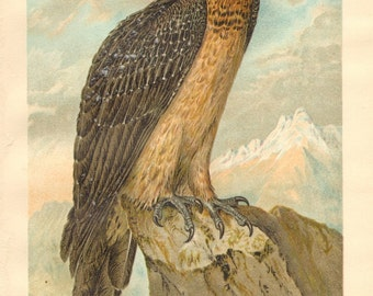 1903 Bearded Vulture or Lammergeier Original Antique Lithograph to Frame