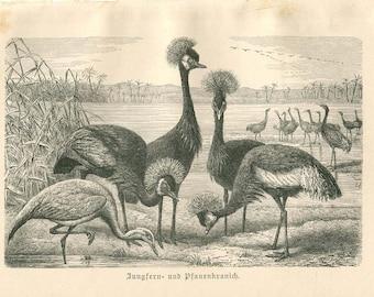 Bird Illustration Cranes Antique Engraving Print Brehm 1900s