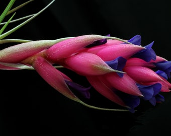 "Airplant/Tillandsia stricta ""Magenta""-Beautiful Flowers When In Bloom"