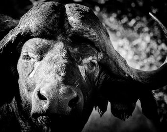 Cape Buffalo Fine Art Photography - Wildlife Art - Modern Wall Art - Black and White Photo - Monochrome Wild Animal - Room Decor