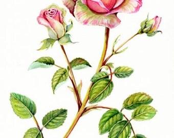 Rose, 10 for 10.00