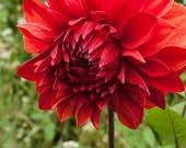 Red Dahlia 7 -- Fine Art Floral Photography Print -- 8x10, Photo, Home Decor, Flowers, Art - SugarloafStudios