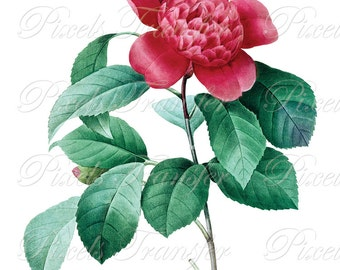 CAMELLIA anemone Instant Download flowers Download, wedding red pink flower clipart botanical illustration Redoute 299