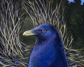 Satin Bowerbird bird portrait fine art giclee print