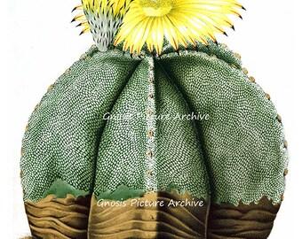 Antique Botanical Art Print Yellow Flowering Cactus No.7 Southwestern Summer Desert Wedding Gift Wall Decor Wall Hanging Art Print 8x10