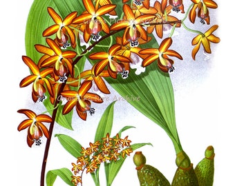 Vintage Botanical Print Orange Orchid Plant No.9 Wall Art Tropical Island Hawaiian Decor Wall Hanging orchid plant  8x10 Giclee Art Print