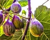 Nature Photography, Fig Print, Green Nature Print, Green Purple Fine Art, Kitchen Decor, Photo Wall Art  by Paula DiLeo_70413