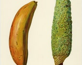 "Matted Rare Antique Fruit Print  "" Bananas""  C. 1891 Fruit Growers Guide Botanical Decor 11 x 14"""