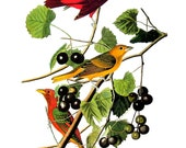 Audubon Bird Print - Summer Tanager - Vintage Print 1979 For Framing - 8.75 x 11