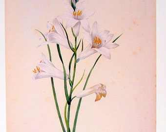 Redoute's White Lily - 1979 Vintage Botanical Book Plate p46