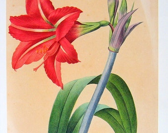 Botanical Print Redoute - Amaryllis 1979 Vintage Flower Book Plate p52