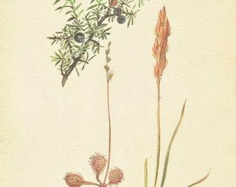 Flower Print - Junniper Berry - Vintage Botanical Book Plate Print - Sundew - Diary of Edwardian Lady - Edith Holden - 1906