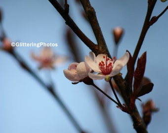 Sand Cherry, Tree, Blossom, Spring, Fine Art, Photograph, Print, 8 x 10, Glossy