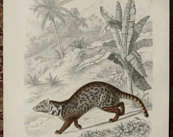 1855 Antique print of a CIVET. Mustelids. Big Cat. Civets. Zoology. Natural History. 162 years old gorgeous engraving