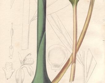 1800s Botanical Print, Ginger Herb Medical Botany, Botanical Wall Art, Hand Colored Engraving, Zingiber officinale Plate 96 Ready to Frame