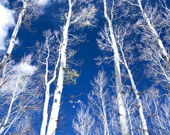 Aspen Trees Aspens Winter Blue Trees Forest Colorado Rustic Cabin Lodge Photograph