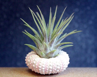 itsy bitsy garden // air plant // sea urchin // tillandsia // by robincharlotte