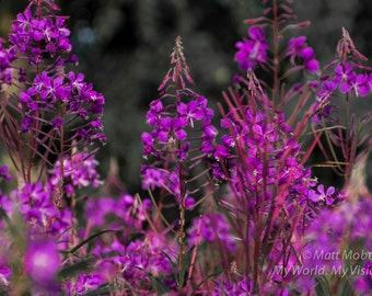 Fireweed, Fairbanks Alaska