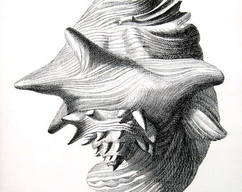 Shells Print - Pink Conch Shell - Vintage 1979  Book Page - Black and White