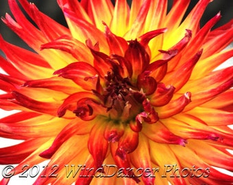 Dahlia - Macro Photo - Fine Art Photo - Reds - Yellows - Flower Photography - Home Decor - Office Decor - 8 x 10 Matted Photo - Macro Flower