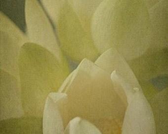 Lotus Blossom III - 4x6 Fine Art Photograph