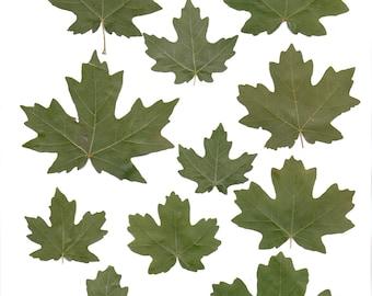 Clip art green maple leaves