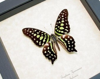 Real Framed Green Spotted Triangle Butterfly Display 247